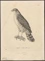 Accipiter poliogaster - 1700-1880 - Print - Iconographia Zoologica - Special Collections University of Amsterdam - UBA01 IZ18300113.tif