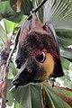 Acerodon jubatus by Gregg Yan.jpg