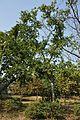 Acharya Jagadish Chandra Bose Indian Botanic Garden - Howrah 2011-01-08 9870.JPG