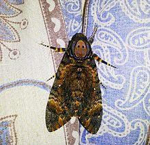 Sưu tập Bộ cánh vẩy 2 - Page 11 220px-Acherontia_styx_-_Death%27s_head_hawkmoth_from_Sri_Lanka