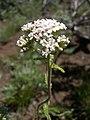 Achillea millefolium-6-16-04.jpg