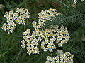 Achillea millefolium flowers.jpg