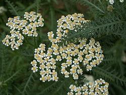 https://upload.wikimedia.org/wikipedia/commons/thumb/9/97/Achillea_millefolium_flowers.jpg/250px-Achillea_millefolium_flowers.jpg