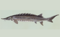 Acipenser oxyrhynchus (recropped).png