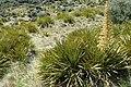 Aciphylla aurea kz9.jpg