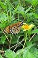 Acraea violae - Tawny Coster at Peravoor (5).jpg
