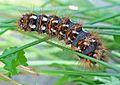 Acronicta rumicis - caterpillar (2006-10-10).jpg