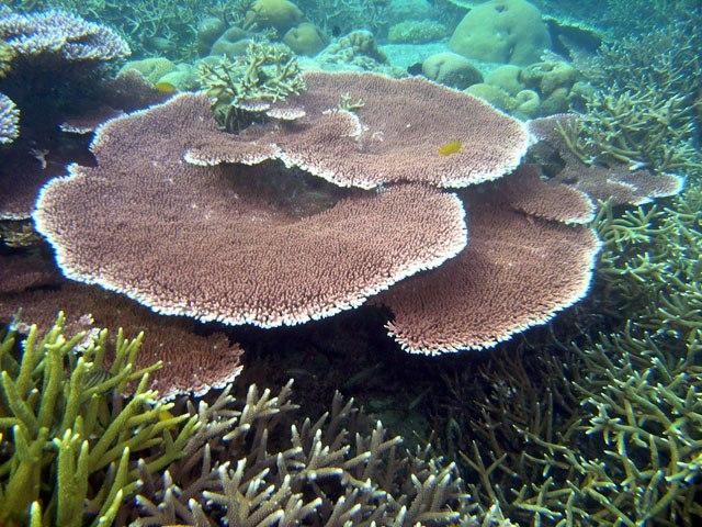 Acropora species5
