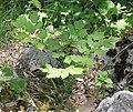 Actaea spicata plant (10).jpg