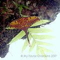 Actias groenendaeli timorensis, Ermera, Timor Leste.jpg