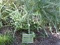 Adenocarpus decorticans Habitus 2010-7-17 JardinBotanicoHoyadePedraza.jpg