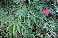 Adiantum aleuticum - Regional Parks Botanic Garden, Berkeley, CA - DSC04432.JPG