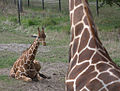 Adult and young giraffe (4530711105).jpg