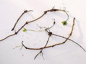 Aegopodium podagraria - Rhizomes developing new shoots