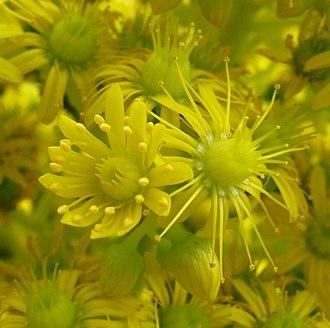 Sequential hermaphroditism - Protandrous flowers of Aeonium undulatum