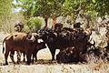 African Cape Buffalo (5232693190).jpg