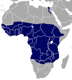 African Giant Shrew area.png