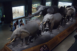 Louis Paul Jonas - African elephants in the Akeley Hall of the American Museum of Natural History