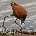 African Jacana (Actophilornis africana) - Flickr - berniedup.jpg