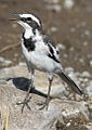 African Pied Wagtail, Motacilla aguimp in Kruger National Park (12148235336).jpg