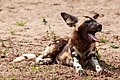 African dogs (41190164135).jpg