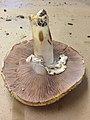 Agaricus deardorffensis Kerrigan 565638.jpg