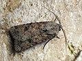 Agrotis segetum - Turnip moth - Совка озимая (42682431450).jpg