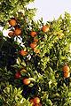 Agrumes Orangers CL J Weber01 (23048337413).jpg