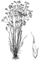 Aira caryophyllea drawing.png