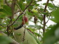 Alexandrie parakeet on tree.JPG