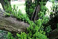All Saints Church, Nazeing, Essex, England ~ churchyard east sprouting yew 03.JPG