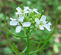 Alliaria petiolata - garlic mustard - desc-flowers buds seedpods.jpg
