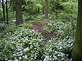 AlliumUrsinum-overz-hr.jpg