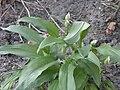 AlliumUrsinum RH (4).jpg