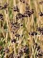 Allium senescens subsp glaucum Czosnek sinawy 2017-10-15 02.jpg