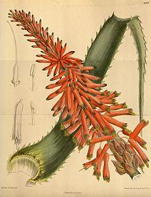 LAloe et lAgave  2 plantes à ne pas confondre  Aloe