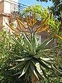 Aloe marlothii in Menton.jpg