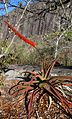 Aloe mawii 2 (9549065292).jpg
