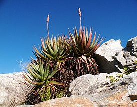 Aloe succotrina - The Fynbos Aloe - Table Mountain 2.JPG