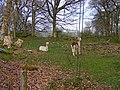 Alpacas near Garthmyn - geograph.org.uk - 1376077.jpg