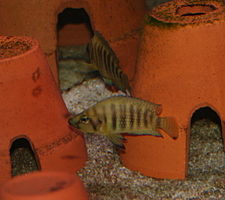 Altolamprologus compressiceps Gold.jpg