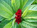 Amaranthus (3).jpg