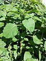 Amaranthus blitum subsp. blitum sl4.jpg