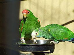 Amazona -Palmitos Park -Gran Canaria -two species-8a