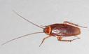 American-cockroach mirror