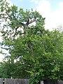 American Elm (Ulmus americana) Ulmaceae Family - panoramio.jpg