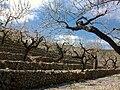 Ametllers florits al pla de Petracos, Castell de Castells.jpg
