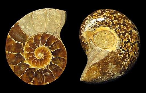 Ammonoidea fossil - inside and outside