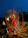 Amphimedon compressa (Erect Rope Sponge- red).jpg