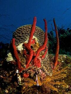 <i>Amphimedon</i> (sponge) genus of sponges
